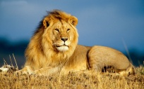 free-lion-wallpaper-1