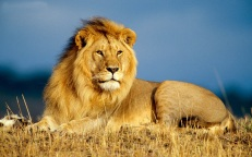 free-lion-wallpaper-1